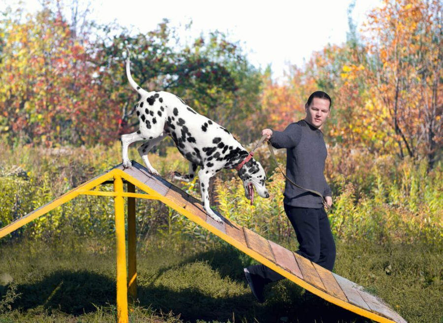 Dalmatian dog with man handler