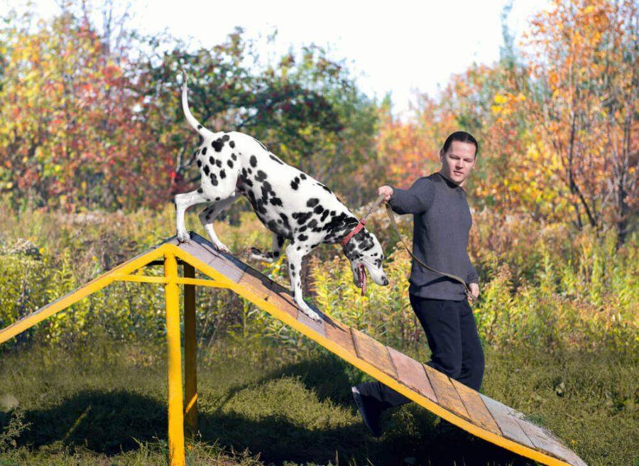 Dalmatian dog with man handler