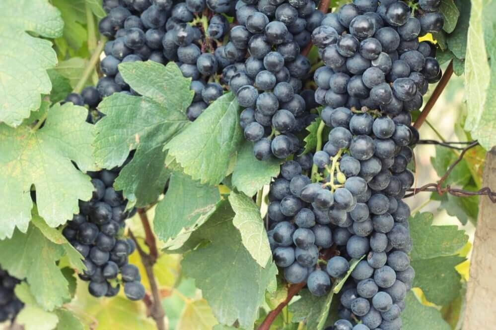 Fresh fruit black grapes in the vineyard
