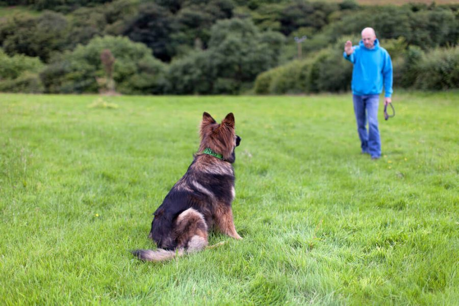 German Shepherd Dog with a collar sat on grass