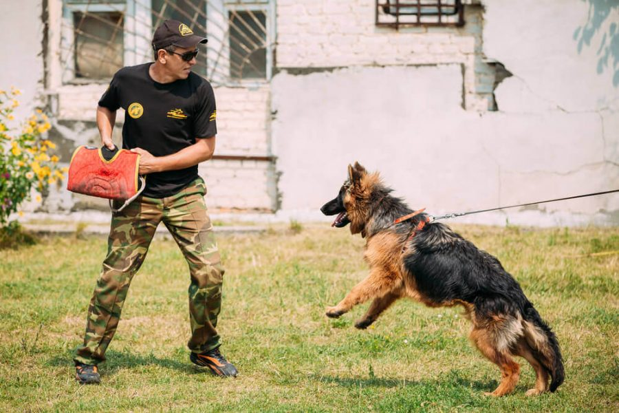 German shepherd dog training in Gomel
