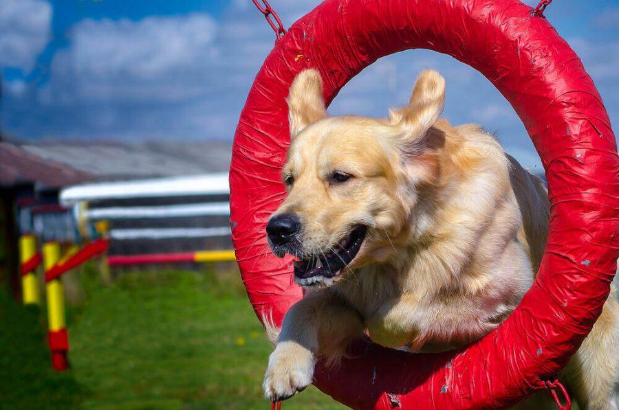 Golden Retriever Jumping Through a Tire