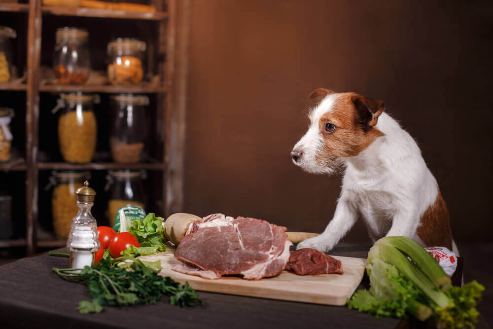 Jack Russell Terrier and foods