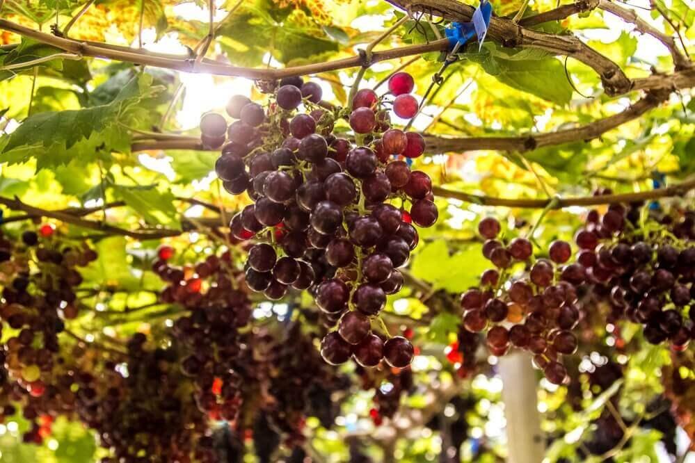 Ripe grape growing at wine fields