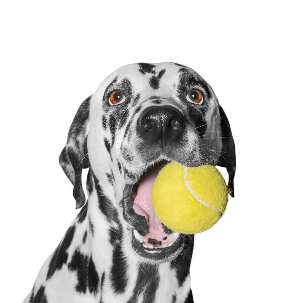 dog holding a ball